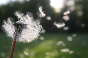 Allergies - Dandelion Pollen Blowing in the Wind
