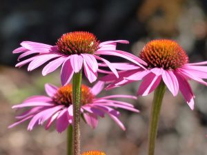 3 purple cone flowers (echinacea)