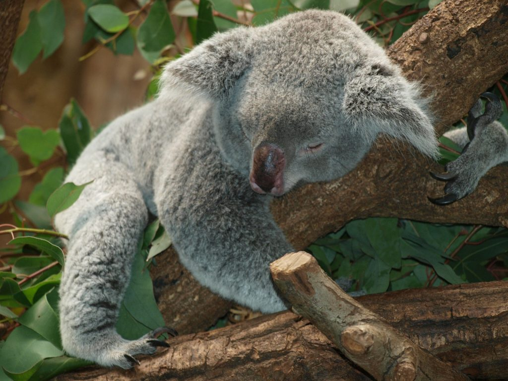 Sleep - Image of a Koala bear sleeping in a tree