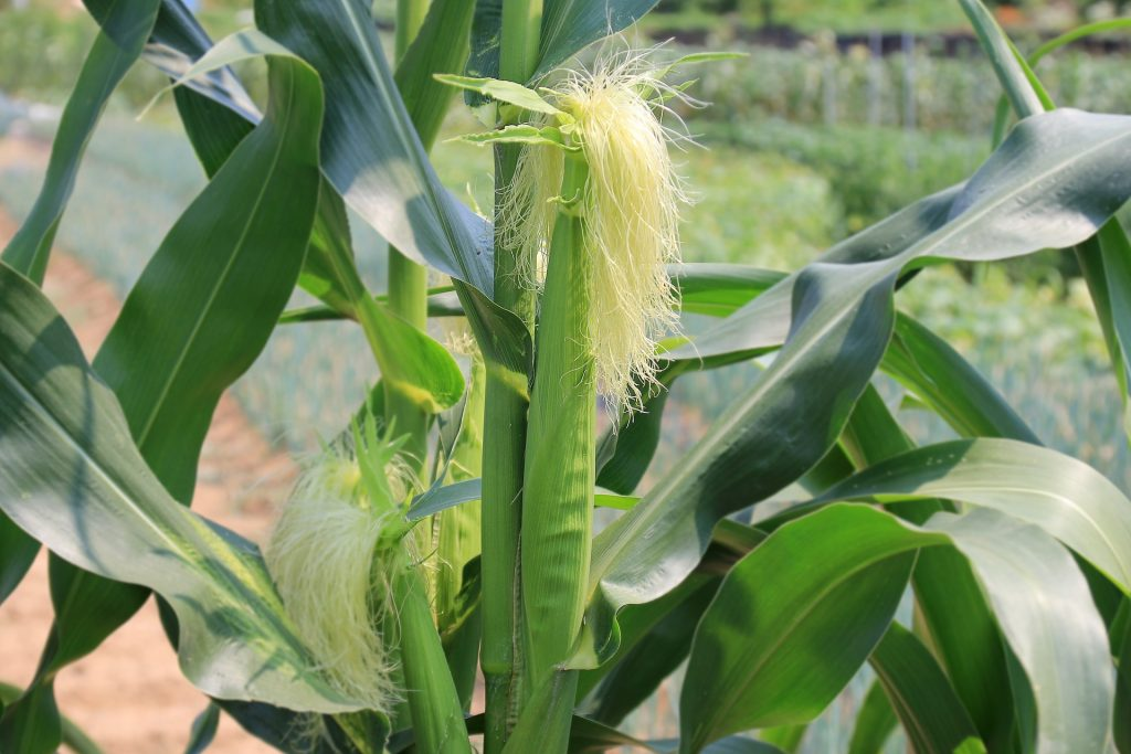 Image of an ear of corn with its corn silk