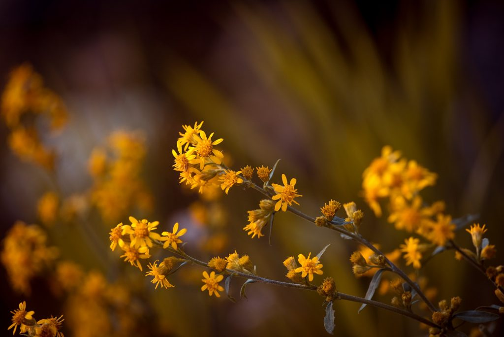 Bruises - Image of arnica flowers