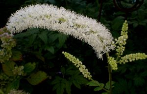 Image of a black cohosh flower