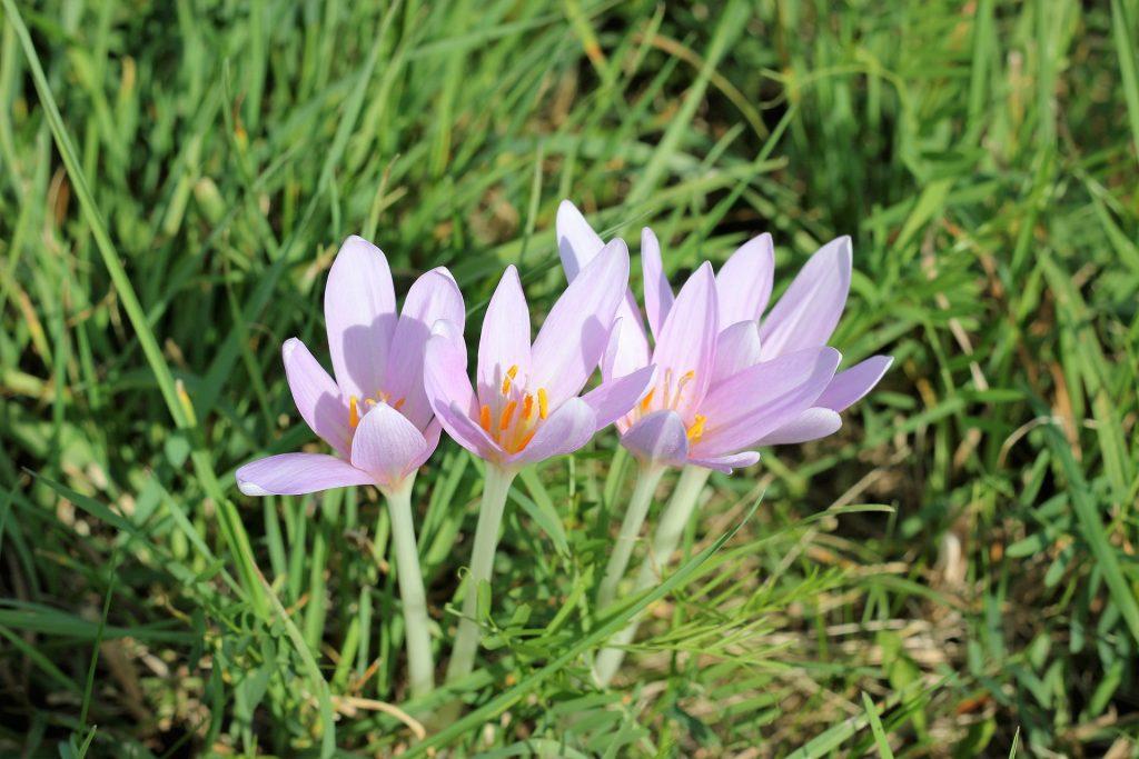 Osteoarthritis - Autumn crocus blooming int he grass