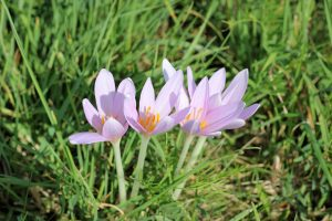 Osteoarthritis - Autumn crocus blooming int he grass