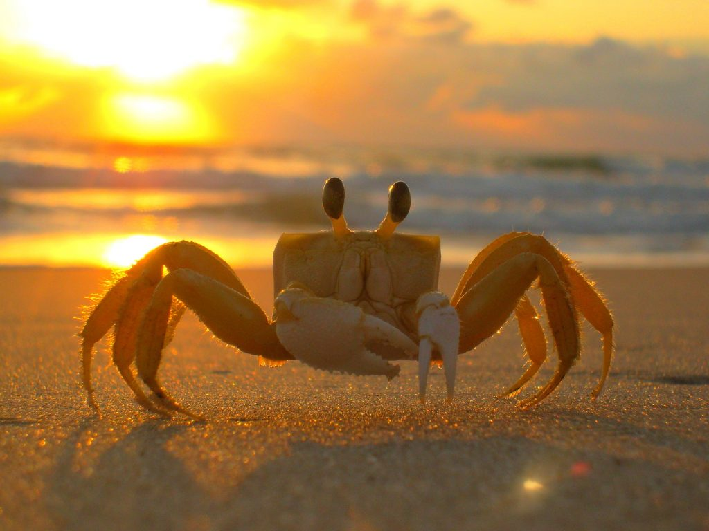 Image of a crab on the beach at sunset