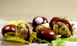 Image of several horse chestnuts