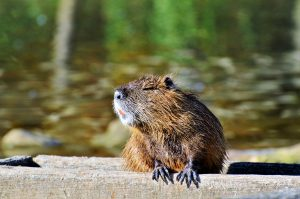 Image of a water rat