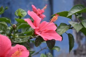 Pink hibuscus flowers - Hibuscus tea is good for high blood pressure