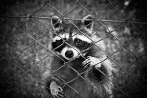 Animal bites - Raccoon behind a fence looking out