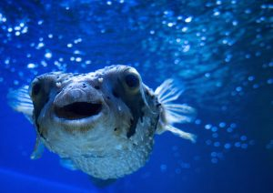 Image of a blowfish underwater
