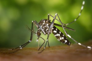 Close-up of an aedes mosquito