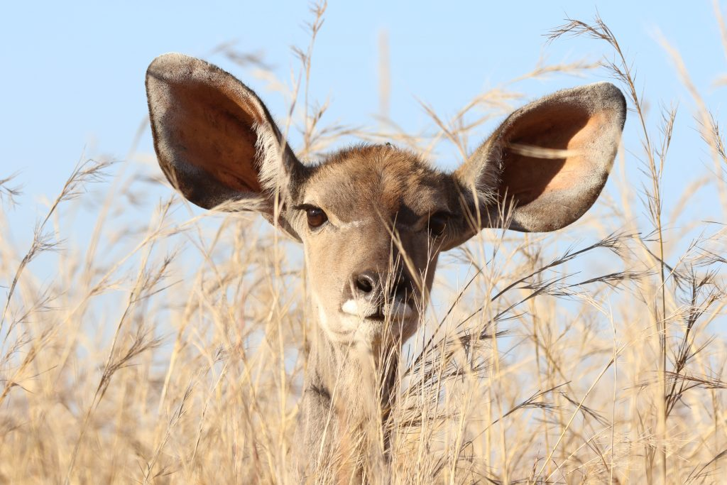 Photo of an animal with extremely large ears