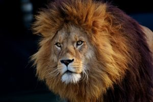 Image of a maned lion
