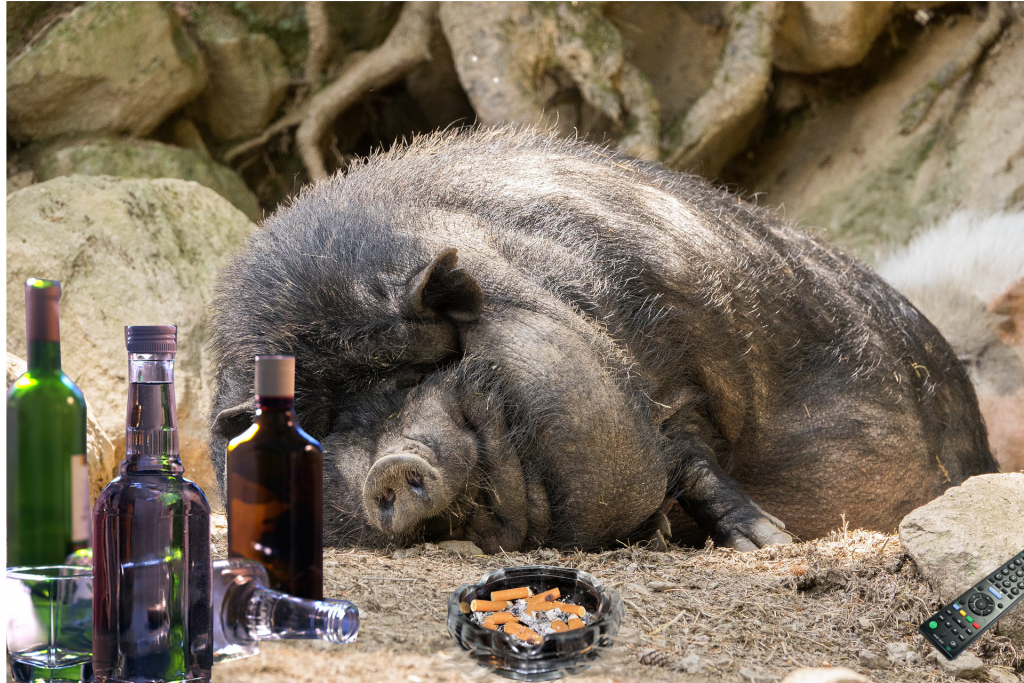 Image of a sleeping pot-bellied pig with alcohol, cigarettes and remote control