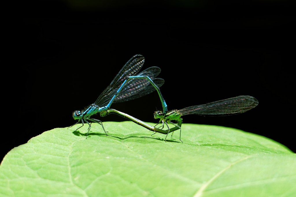Image of mating dragnflies