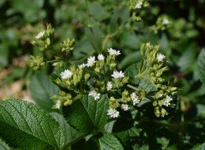 Flowering stevia plant